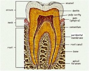 biological root canal therapy san diego