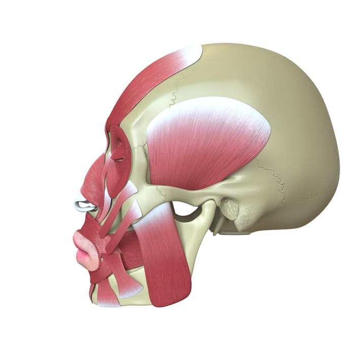 Rendered human skull with muscles